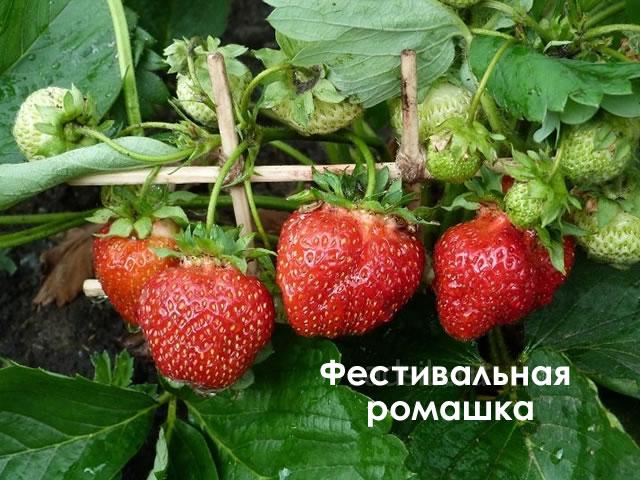Клубника «фестивальная». полное описание сорта, тонкости выращивания, фото и отзывы