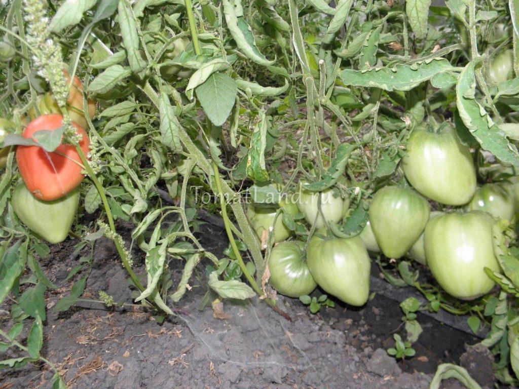 Томат «воловье сердце» гигант в саду