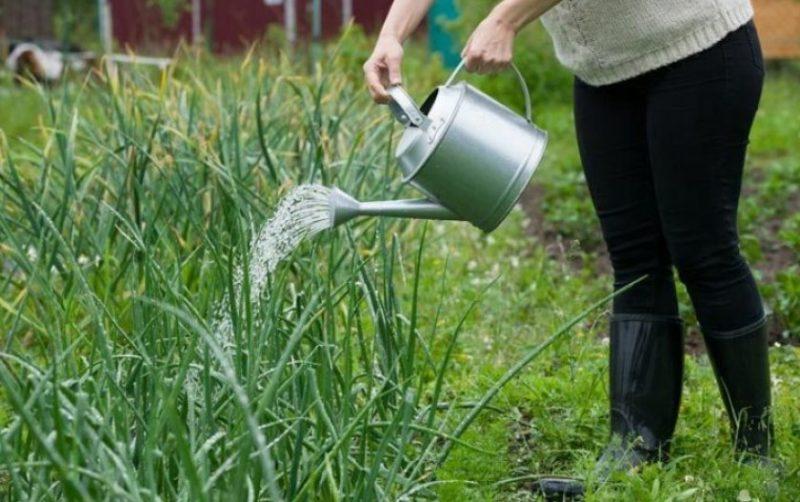 Как поливать капусту в открытом грунте правильно, видео и фото