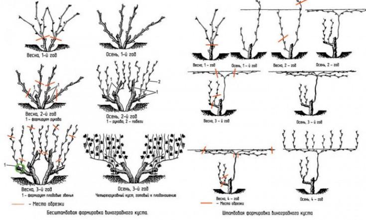 Виноград сорта юлиан: характеристика, особенности посадки и выращивания