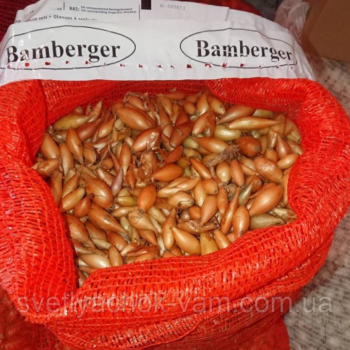 Характеристика и описание сорта лука бамбергер, выращивание и уход