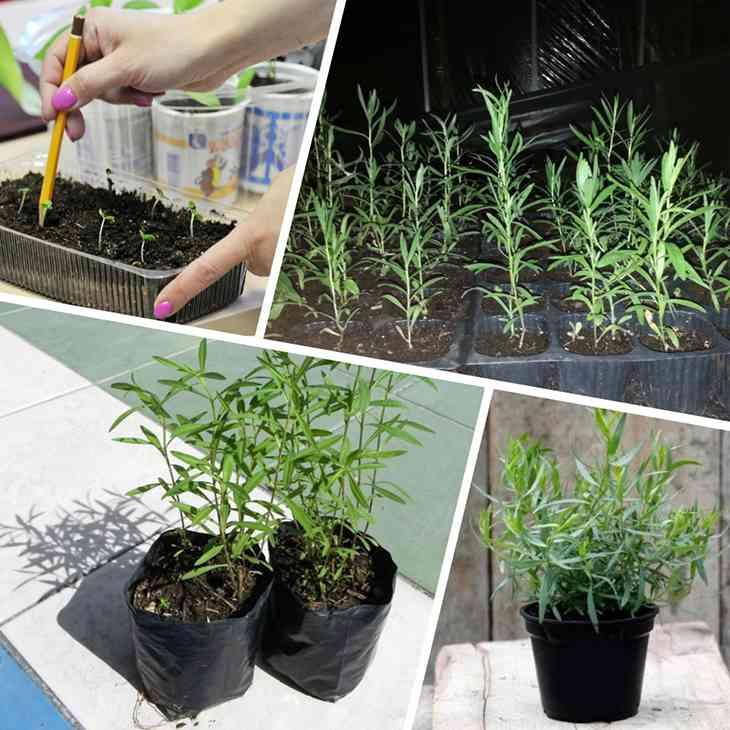 Практические рекомендации по выращиванию тархуна дома и на даче. особенности посадки и ухода за травой