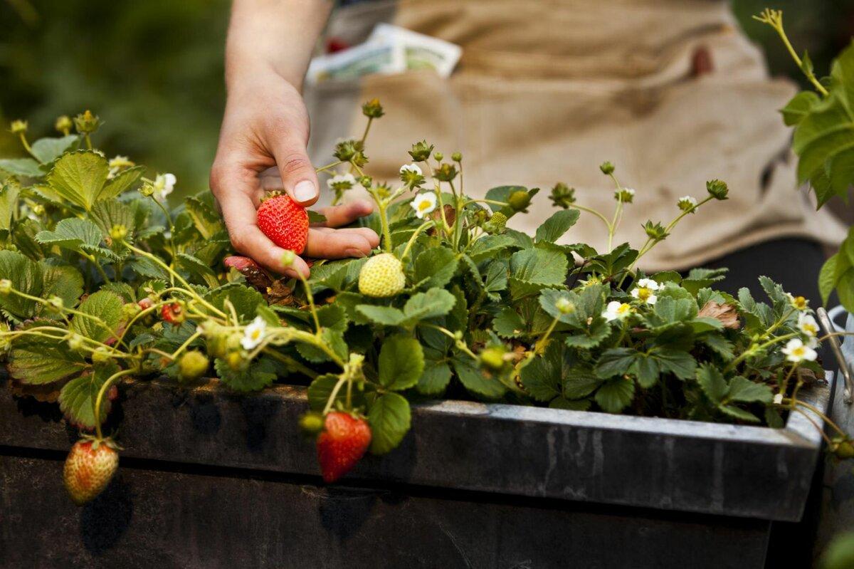 Как получить семена клубники из ягоды: способы сбора для посадки в домашних условиях