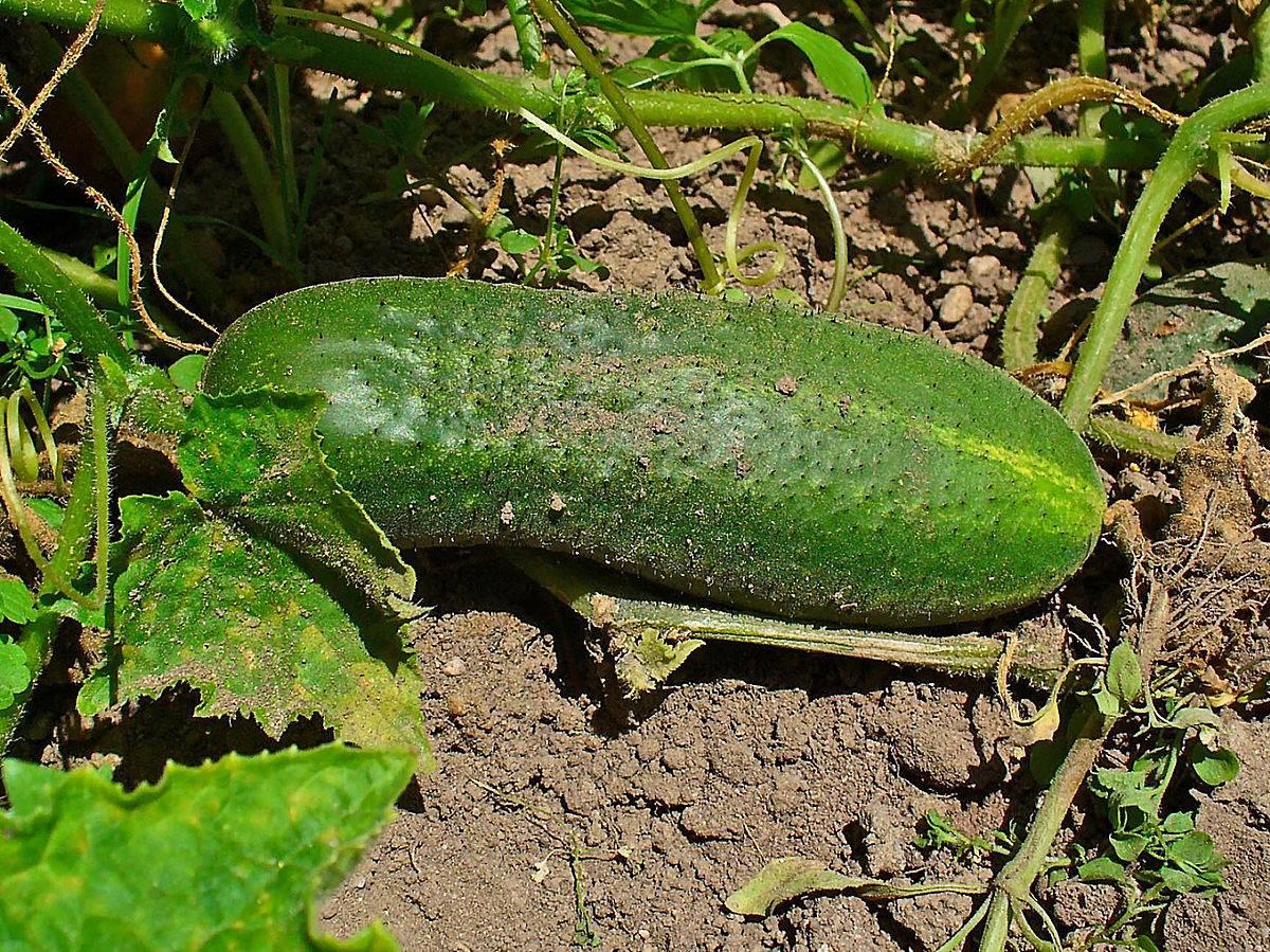 Все о сорте огурца астерикс: описание, агротехника выращивания и уход