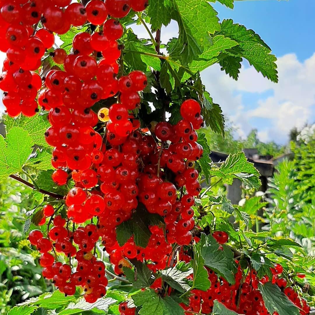 Красная смородина сахарная: описание сорта и характеристики, посадка и уход с фото