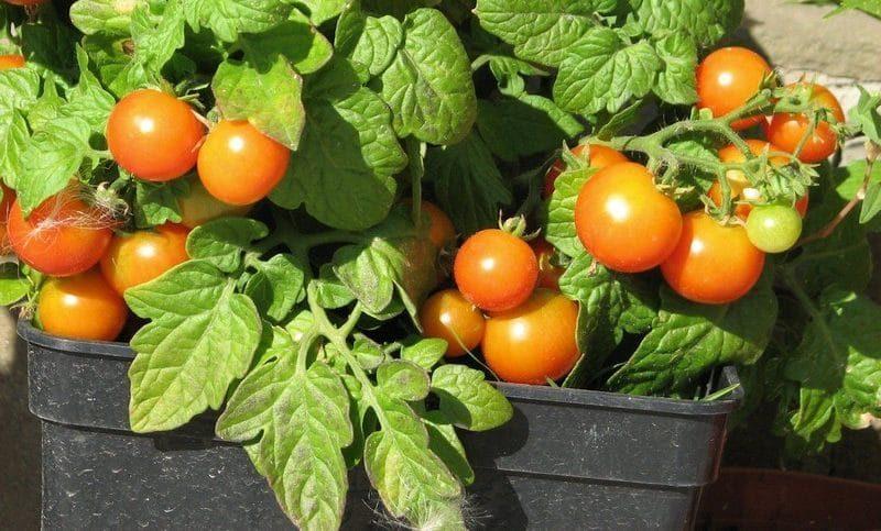 Томат балконное чудо: описание и характеристика этого сорта помидоров, особенности выращивания в открытом грунте и в домашних условиях