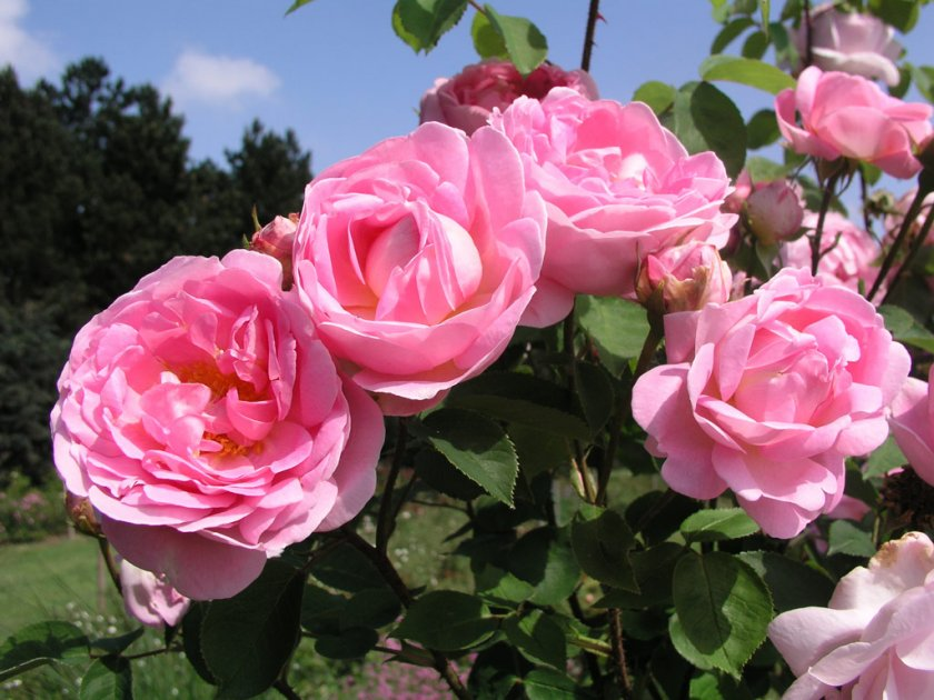Пионовидные розы: посадка и уход, виды и сорта с фото и названиями