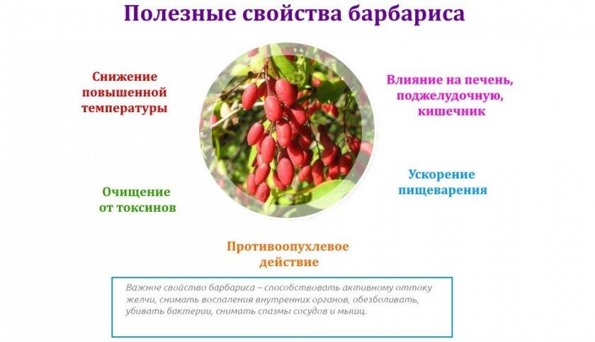 Барбарис: полезные свойства растения и противопоказания ➥➥➥
