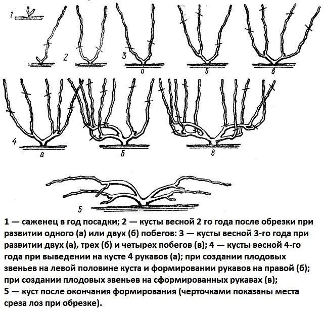 Виноград изабелла: описание сорта, посадка и уход, выращивание и обрезка с фото