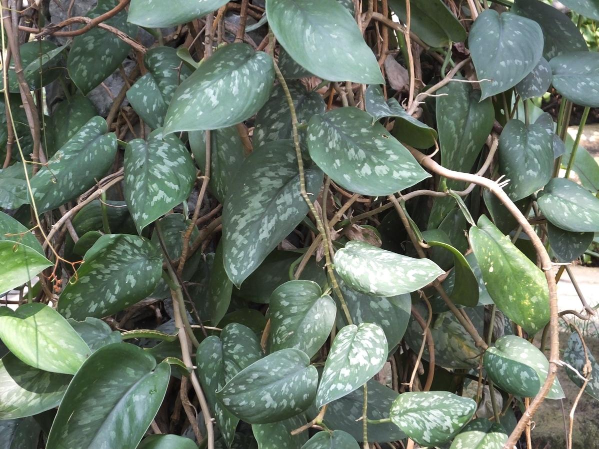 Сциндапсус – описание, цветет или нет, является ли ядовитым, основные виды, правила пересадки