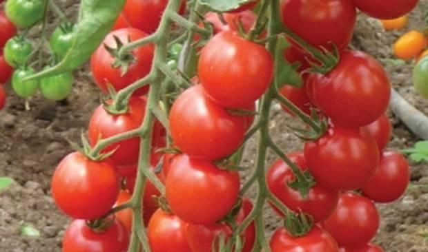 Томат мадейра: описание, отзывы, фото, урожайность