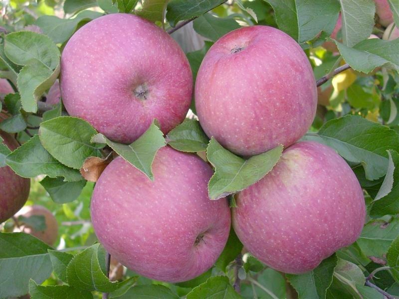Яблоня фуджи: отзывы, описание, фото