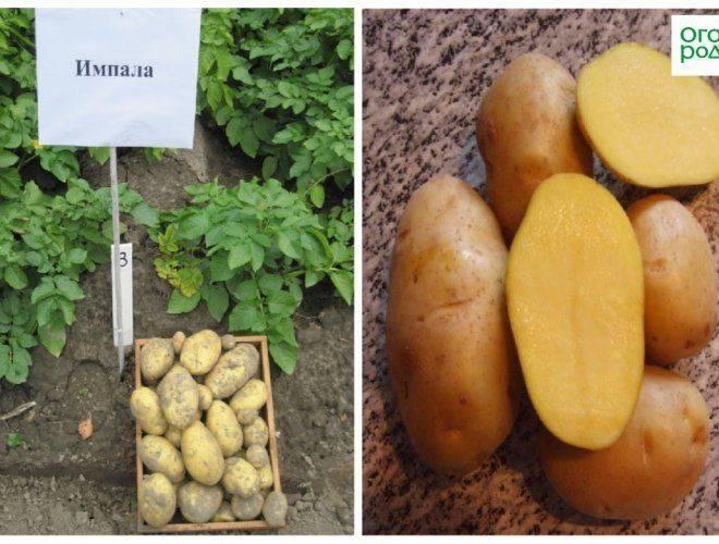 Столовый сорт картофеля импала. особенности культуры, агротехника и отзывы
