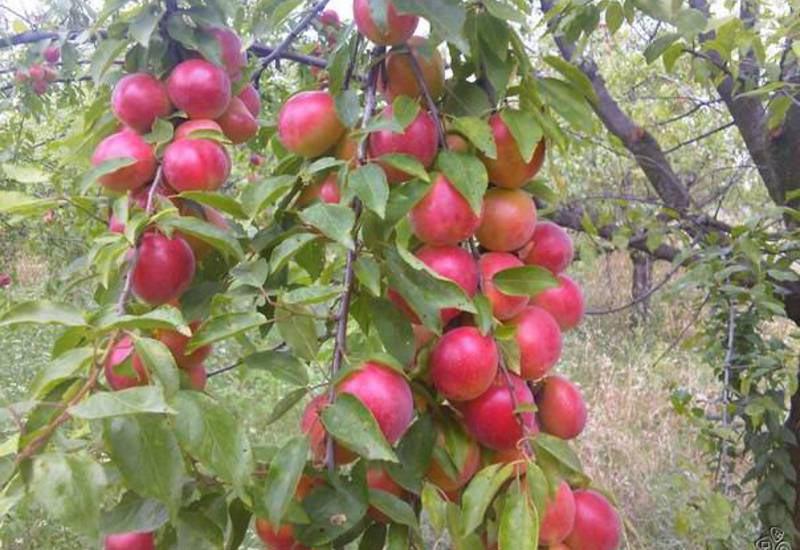 Выращиваем алычу. посадка и уход. сорта и гибриды для регионов. фото — ботаничка.ru