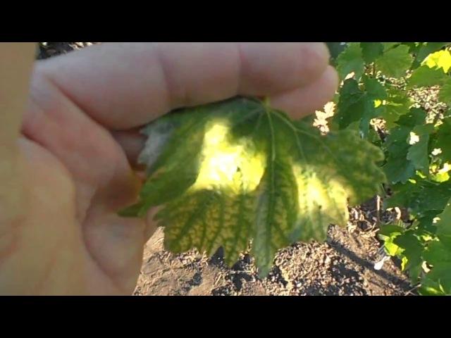 Хлороз винограда: профилактика и лечение, устойчивые сорта