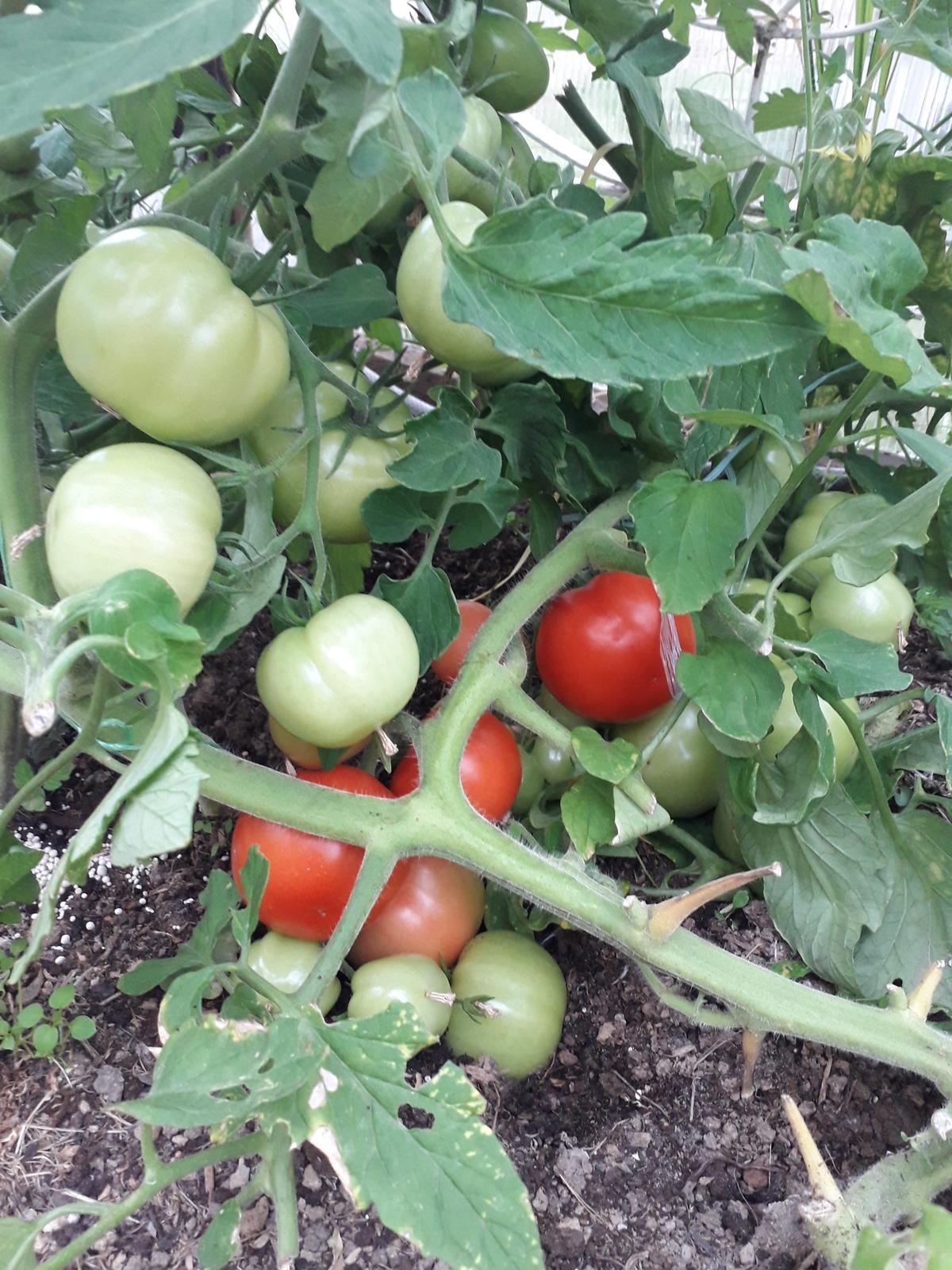 Томат катя f1 - описание сорта гибрида, характеристика, урожайность, отзывы, фото