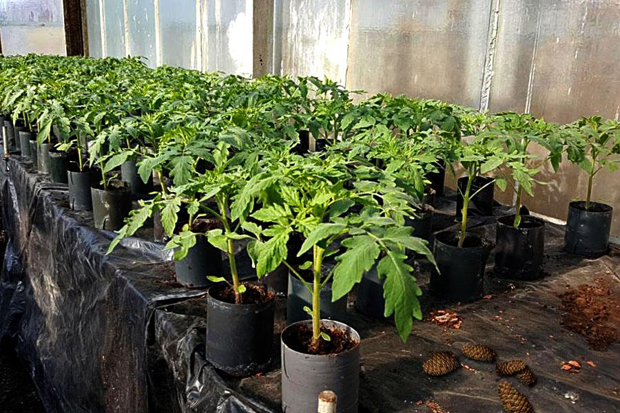 Когда сажать томаты на рассаду в 2021 году: сроки посева помидор и высаживания рассады в открытый грунт
