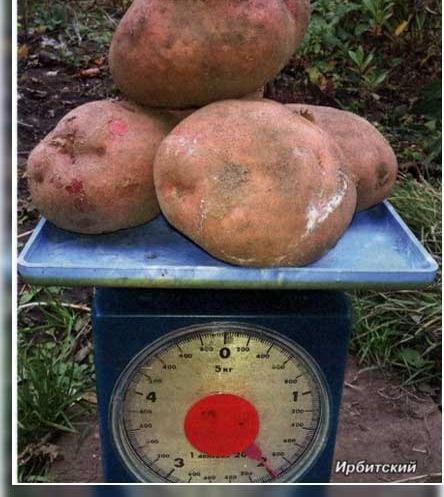 Картофель ирбитский: описание и характеристика сорта, посадка и уход, отзывы с фото