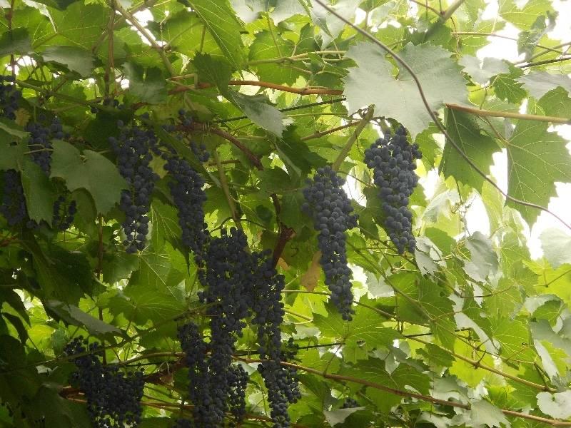 ✅ описание сортов винограда саперави и саперави северный, отличия, преимущества, недостатки - tehnomir32.ru