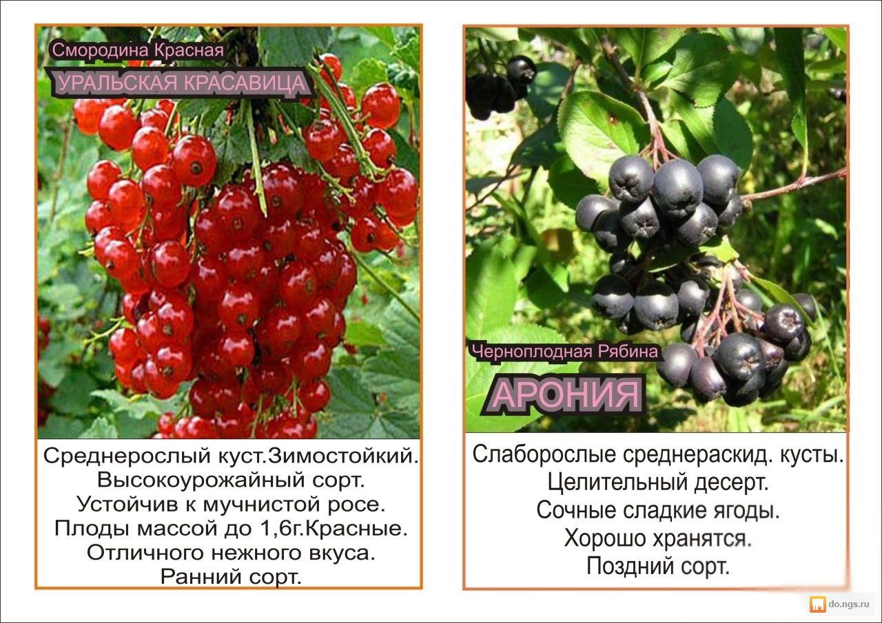 Смородина добрыня: описание сорта с характеристикой и отзывами, особенности посадки и выращивания и ухода, фото