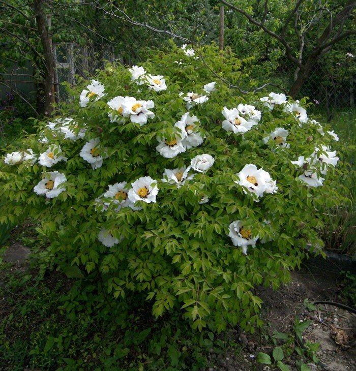 Пион древовидный: популярные сорта и особенности выращивания в открытом грунте