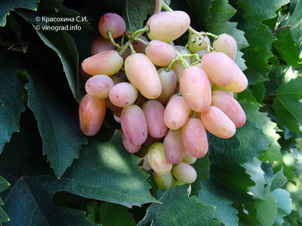 Виноград «преображение»: описание сорта, фото, отзывы, посадка и уход