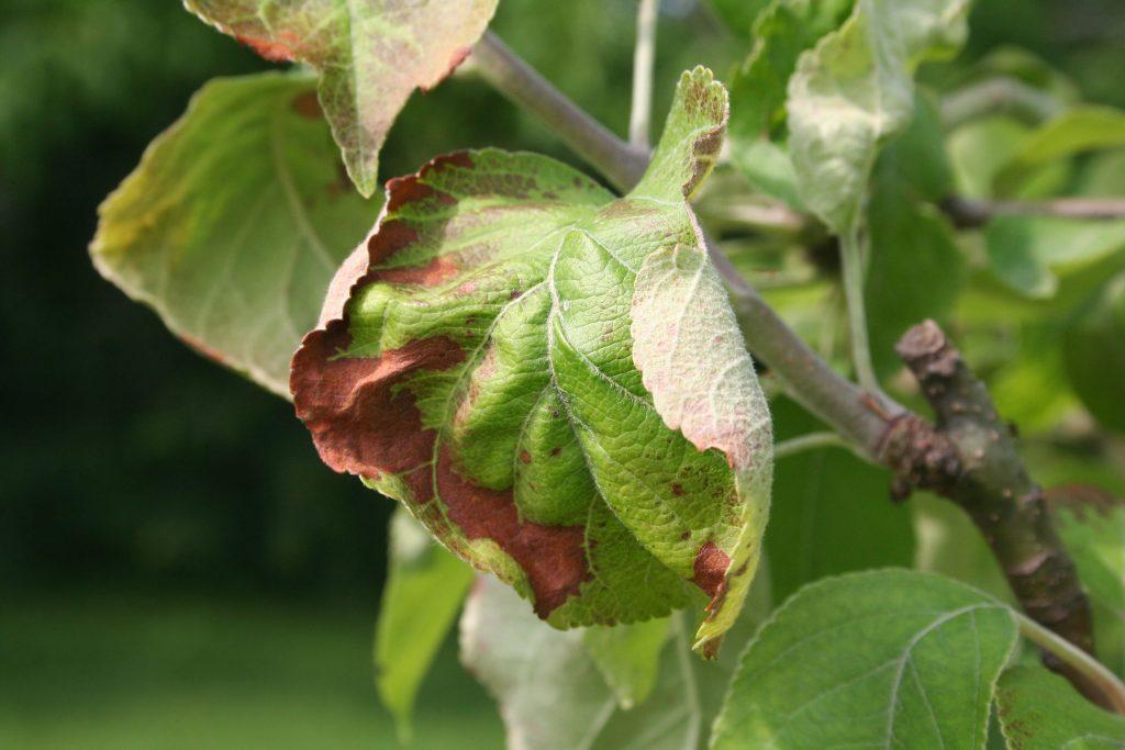 Почему сохнет яблоня и как ее спасти