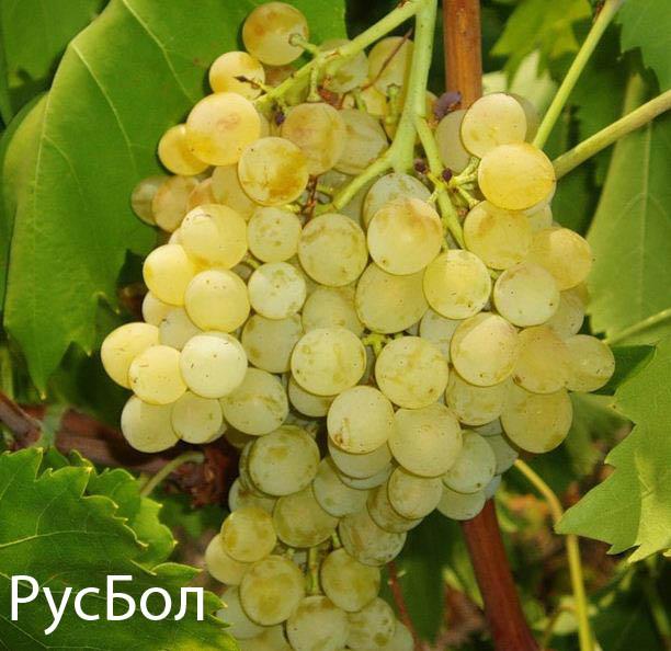 Виноград русбол улучшенный: описание сорта, характеристики, особенности