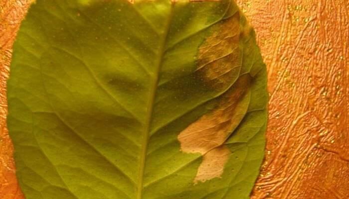 Почему туя желтеет и сохнет и что делать чтобы спасти растение