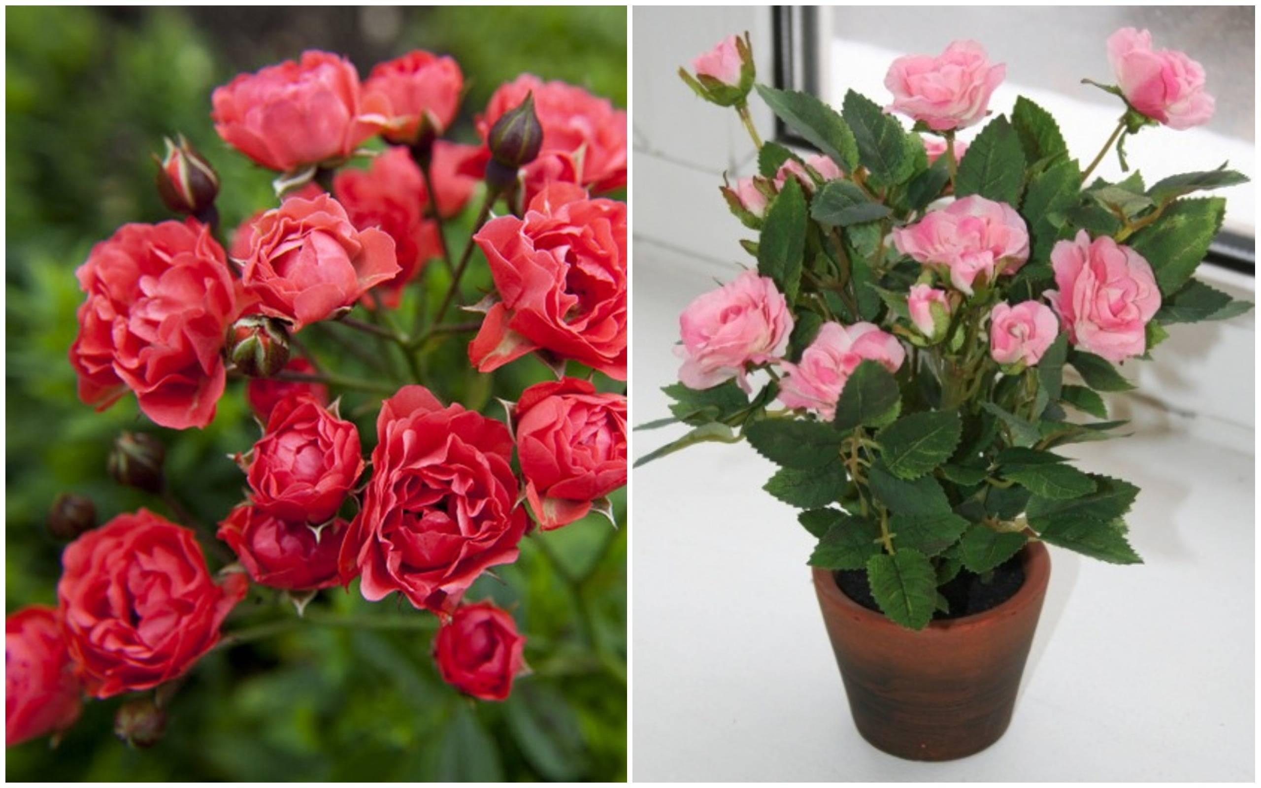 5 правил по уходу за розой кордана микс. пересадка цветка
