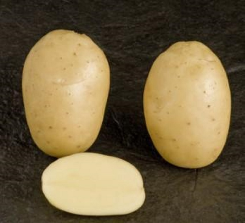 Сорт картофеля тимо. описание, характеристика, фото