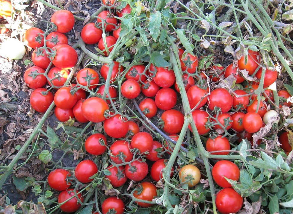 """ᐉ томат """"асвон f1"""": фото и описание сорта, характеристики плодов-помидоров - orensad198.ru"""