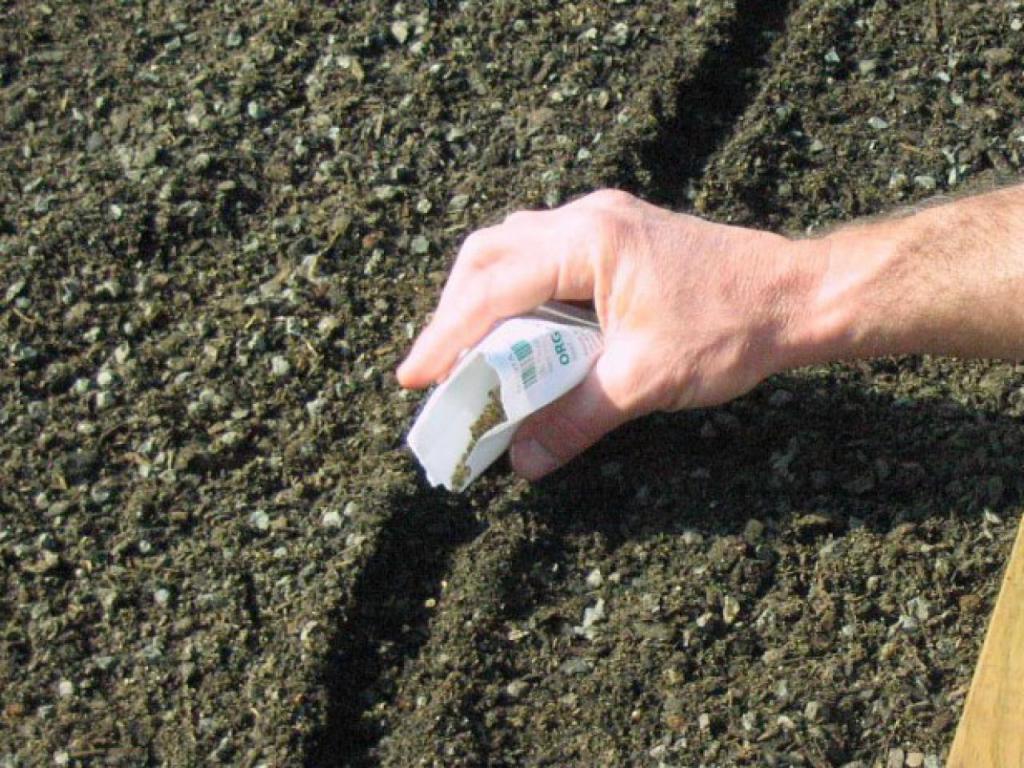 Посадка свеклы в открытый грунт семенами весной: сроки посева, как правильно обеспечить уход за ростками, когда подкармливать, возможные проблемы и трудности русский фермер