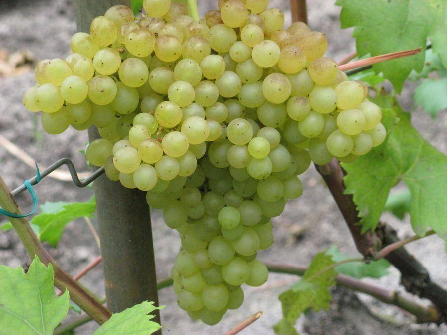 Выбираем виноград. как правильно подобрать сорт винограда, советы начинающим
