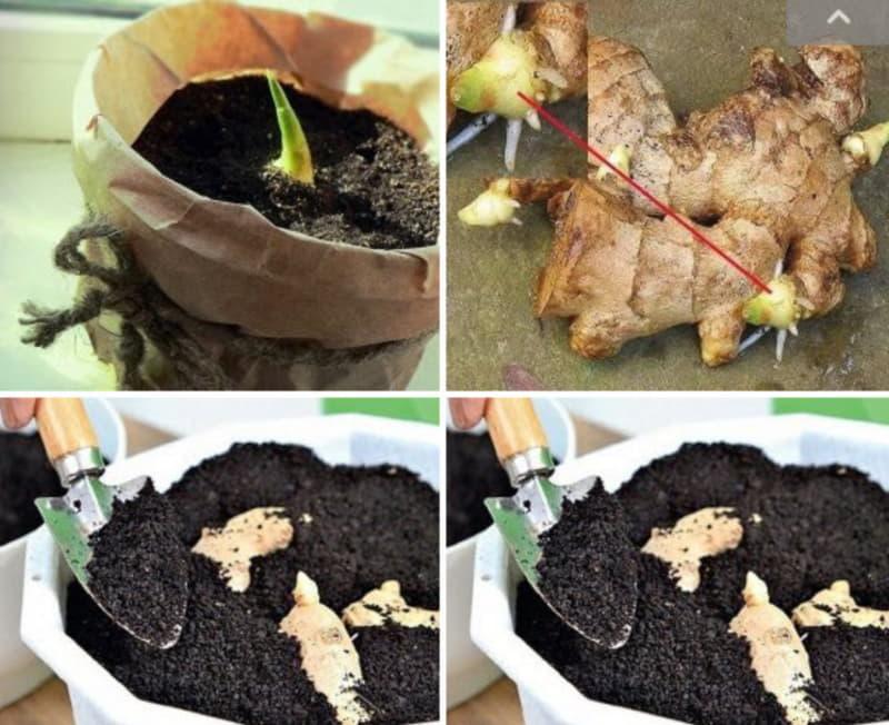 Как вырастить имбирь: выращивание в домашних условиях, как посадить корень купленный в магазине и ухаживать, как цветет, посадка в горшок