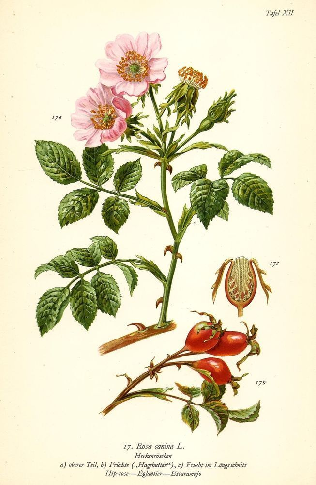 Шиповник собачий (роза собачья, роза канина, rósa canína) ботаническое описание и посадка на участке