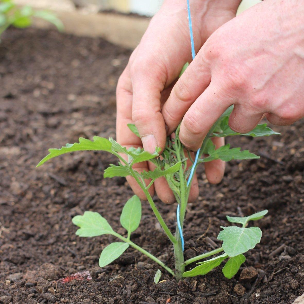Особенности технологии метода терехиных по выращиванию томатов