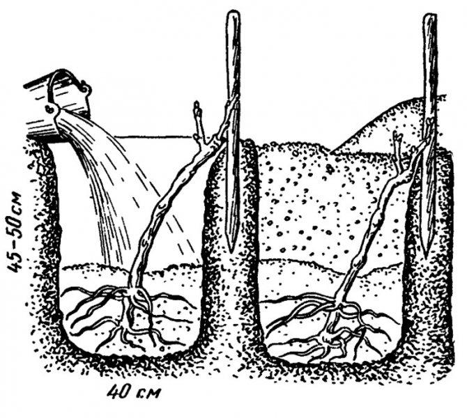 Как вырастить черешню из косточки