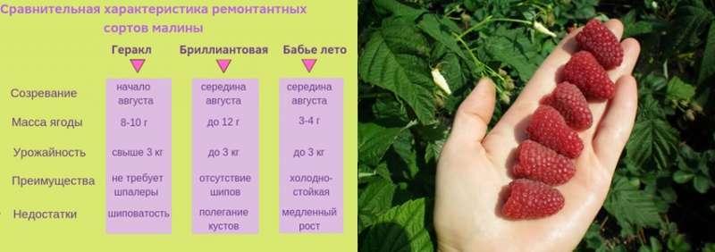 Ремонтантная малина: посадка и уход, выращивание из саженцев, обрезка, размножение, фото