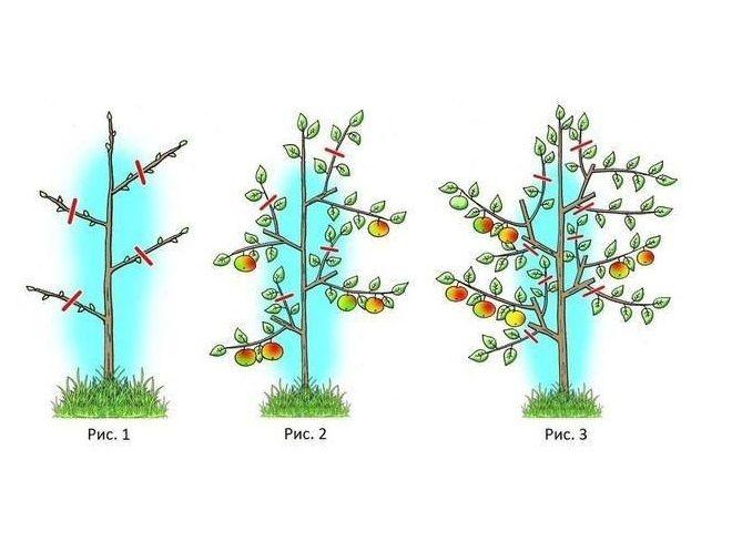 Колоновидная груша: описание и характеристика вида, основные сорта, особенности посадки и ухода, обрезка + фото и отзывы
