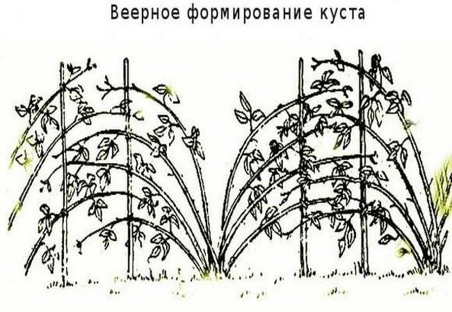 Садовая ежевика: уход в разное время года, в том числе в первый год после посадки