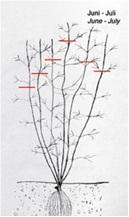 Клематисы в сибири: посадка и уход, размножение