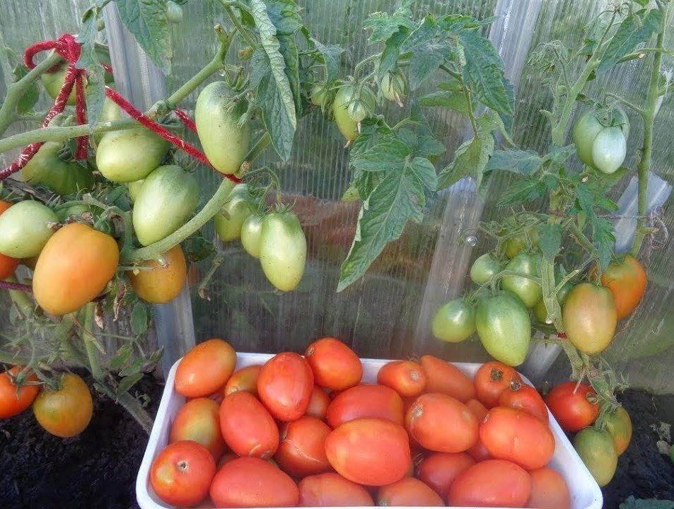Стойкий «боец» за урожай помидоров: описание сорта томатов «буян»