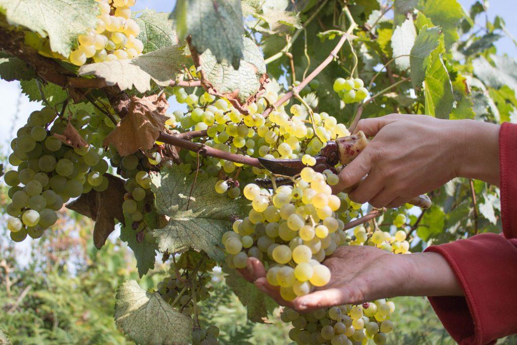 Сорт винограда атос: подробное описание, характеристики, селекция и выращивание, фото selo.guru — интернет портал о сельском хозяйстве