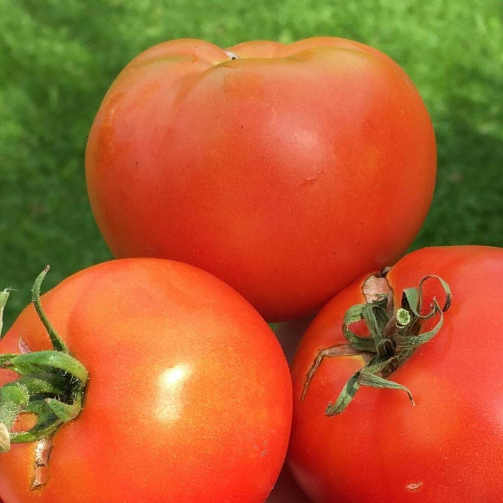 Лучшие сорта помидоров для открытого грунта с фото и описанием  