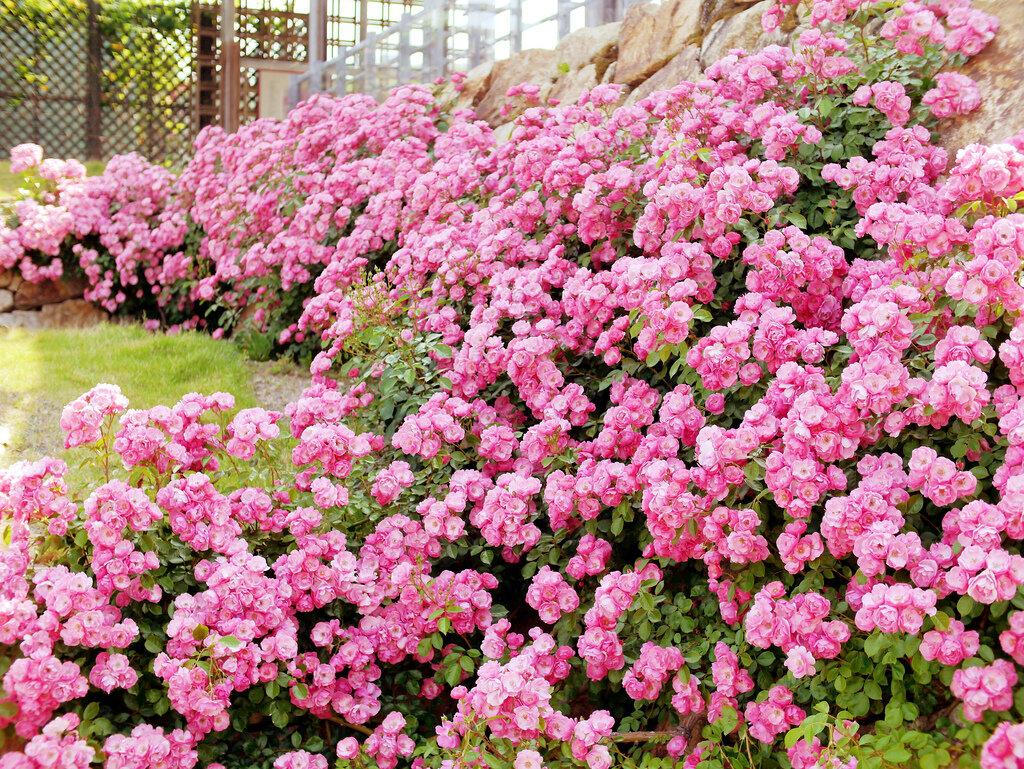 Кустовые розы ─ роскошный подарок богов