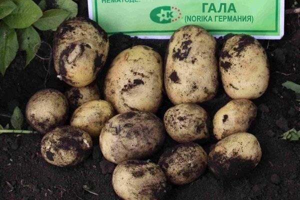 Картофель гала: описание сорта, характеристики и отзывы