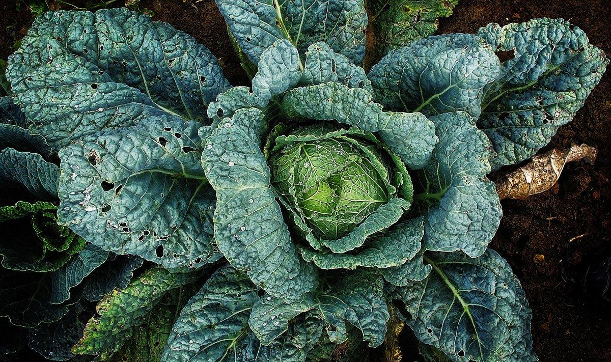 Топ 15 лучших сортов ранней капусты по отзывам огородников с названием и фото: самая урожайная, вкусная, белокочанная, правила выращивание