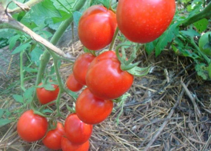 Описание томата Солероссо F1 и особенности ультраранних помидоров