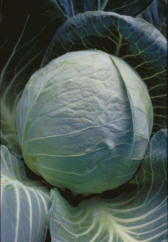За что огородники любят капусту сорта ринда: описание и фото овощной культуры